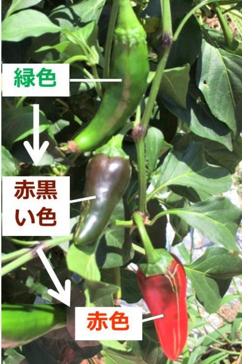 枝についている3つのコドモピーマンが移った写真。1つは緑色、1つは赤黒い色、もう1つは赤い色をしている。
