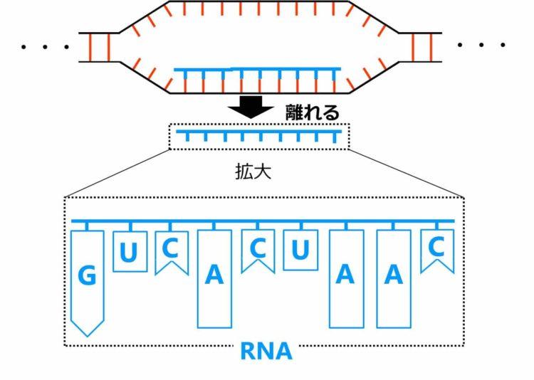 離れて、1本のRNAが完成する図