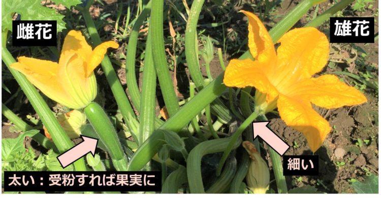 ズッキーニの雌花と雄花の写真