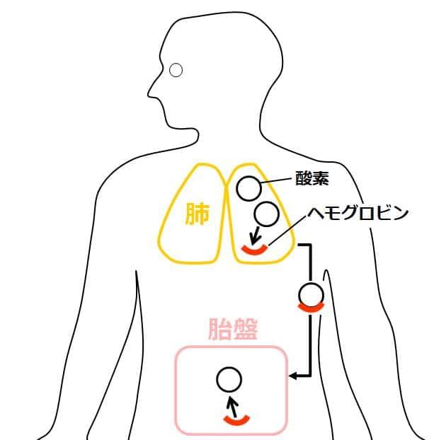 母体側のヘモグロビンが、肺で酸素と結合して酸素ヘモグロビンとなり、血管を通って胎盤へ運ばれ、酸素を解離する様子を描いた図。