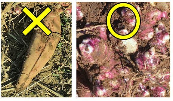 塊茎と塊根