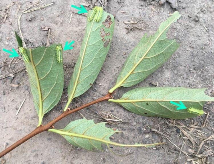 分散した幼虫の写真。3枚の葉に、平均2匹程度ついている。