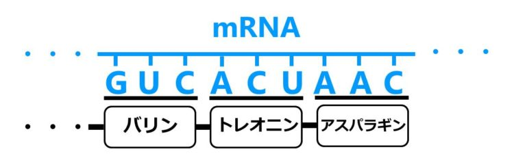 mRNA上のGUCとACUとAACという塩基配列の下に、それぞれ、バリンとトレオニンとアスパラギンというアミノ酸が並んでいる図
