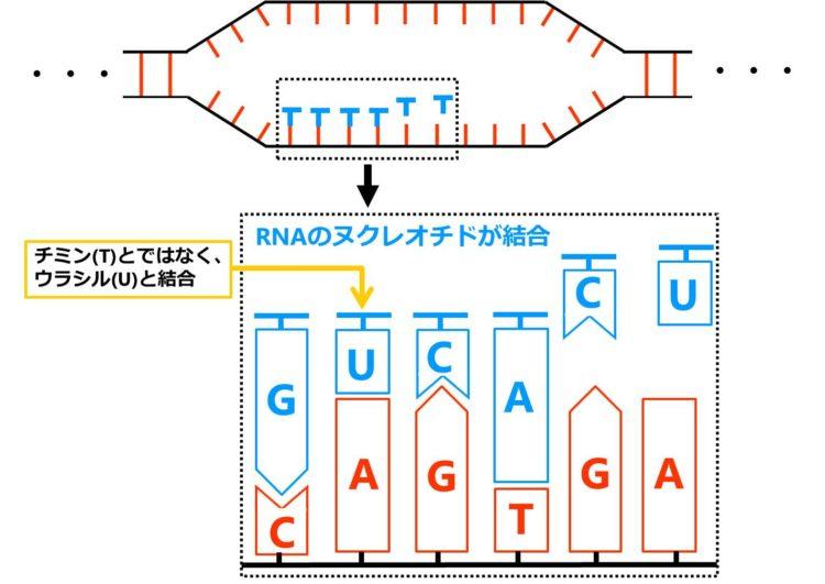 DNAのヌクレオチドのアデニンに対しては、RNAのヌクレオチドのウラシルが結合する。