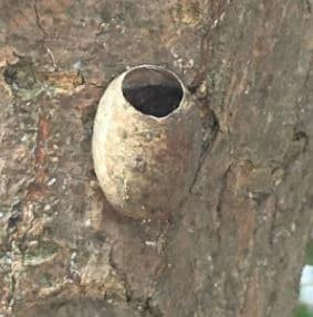 ヒロヘリアオイラガのマユ。羽化したあとなので、丸い穴があいている。