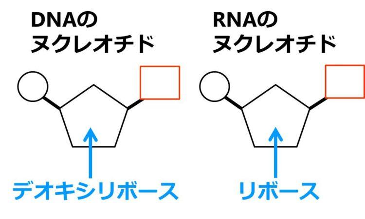 DNAのヌクレオチドは、五角形の糖がデオキシリボースであり、RNAのヌクレオチドは、五角形の糖がリボースであることを描いた図。