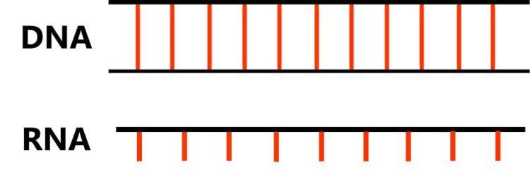 2本鎖のDNAと1本鎖のRANが描かれている。DNAは、はしご形で描かれ、RNAは、はしごの片側だけのような図で描かれている。