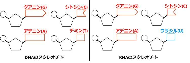 DNAとRNAのヌクレオチド4種を描いた図