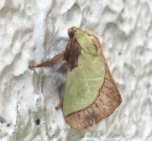 ヒロヘリアオイラガの成虫。全体が緑色っぽく、翅の後部が茶色である。