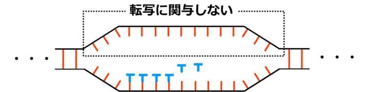1本鎖になったDNAのヌクレオチド鎖の一方には、RNAのヌクレオチドが結合せず、転写に関与しないことを描いた図