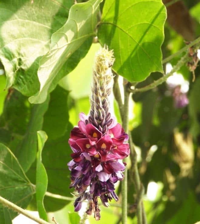 クズの花の写真