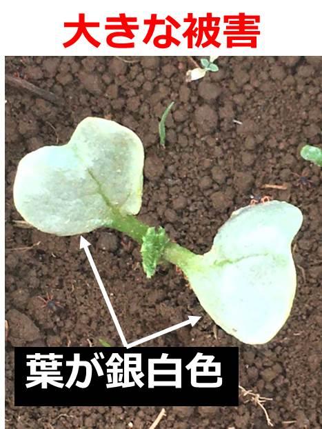 大きな被害にあい、葉が銀白色のダイコン芽生え