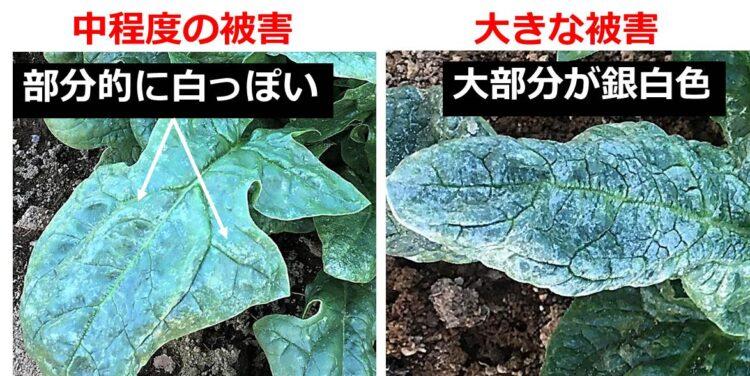 中程度の被害のホウレンソウは、部分的に葉が白っぽい。大被害のものは、葉の多くが銀白色。