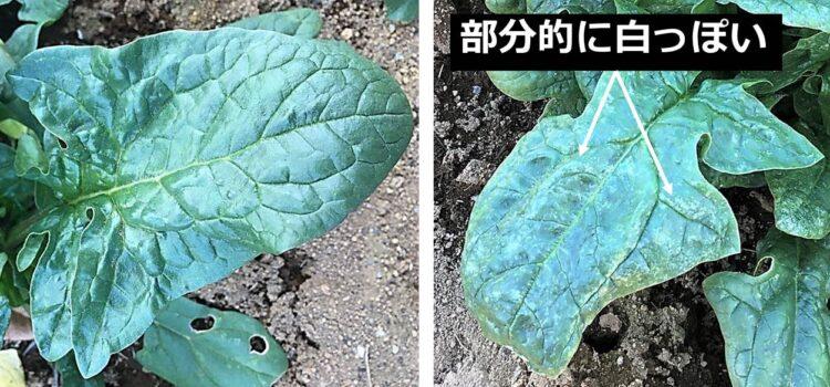 健全な葉は全体が緑で、異常な葉は部分的に白っぽい