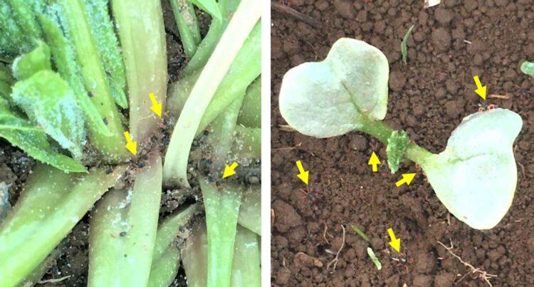 ホウレンソウの茎の下部と、ダイコンの芽生えの葉の裏などに多くのハクサイダニがついている