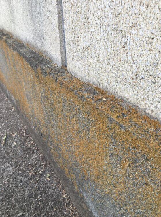 コンクリの壁に黄色の地衣類がついている。一見、古くなった黄色のペンキ塗りのよう。