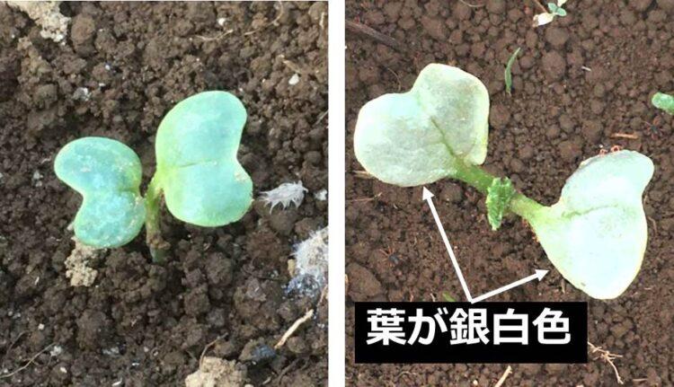 ダイコンの芽生えの比較。健全な芽生えは、葉の色が緑だが、異常な芽生えは葉の色が白い。