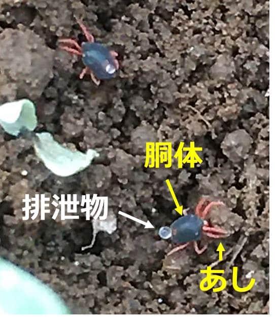 ハクサイダニの全形写真。黒いゴマ型の胴体から、8本のオレンジ色の脚が生えている。黒い胴体の上には、球状になった排泄物がついている。