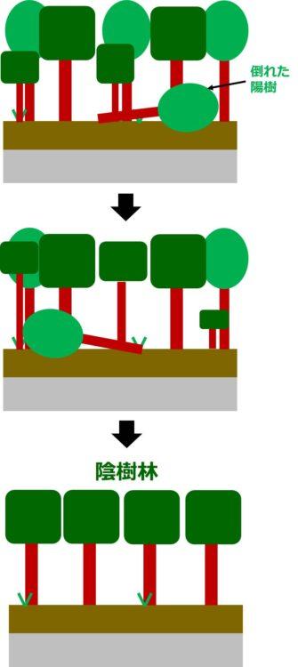 混交林から陰樹林へいたる過程の図。陽樹が数本倒れ、そのあいた部分で陰樹が成長する。これを繰り返して、陰樹が主体の陰樹林になる。