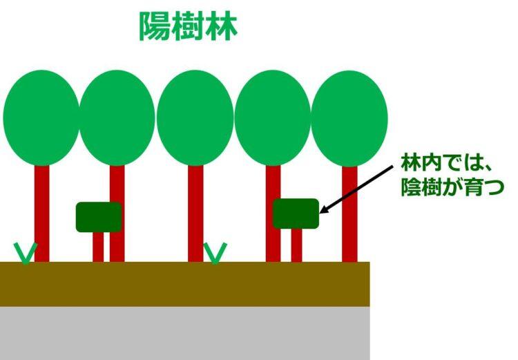 高木の陽樹林の内部で、小さな陰樹が成長している様子を描いた図。